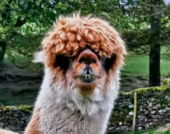 Alpaca in Yorkshire Dales