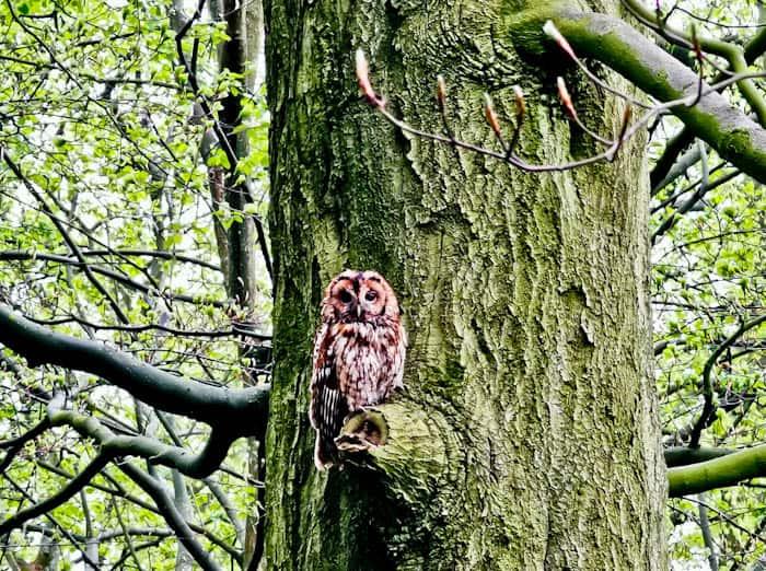Tawny Owl in Skipton Park, Yorkshire Dales