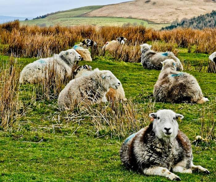 Herdwick Sheep in Yorkshire