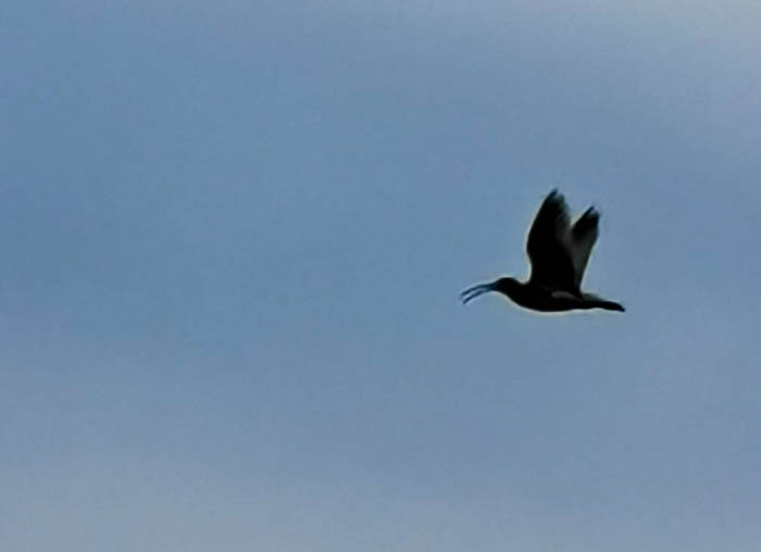 Curlew in the Yorkshire Dales