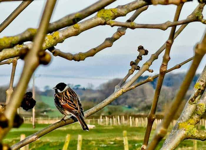 Reed Bunting in the Yorkshire Dales