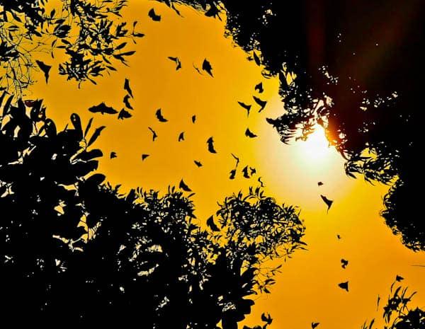 Bats in Conakry