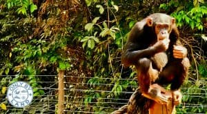 How to Visit the Chimpanzee Sanctuary in Freetown + Photography