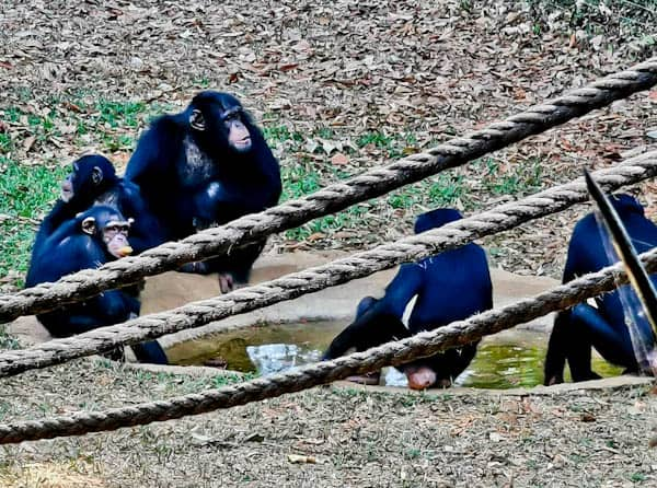 Chimpanzees in Sierra Leone