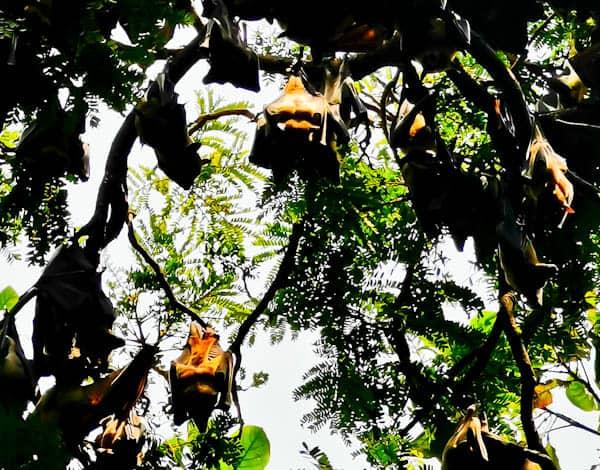Bats in Freetown