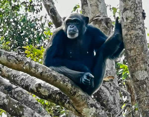 Chimpanzee in Freetown