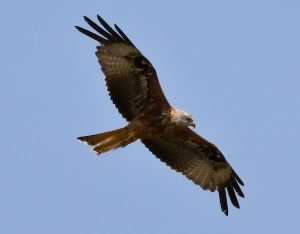 Red Kite in the Yorkshire Dales