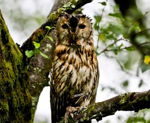 Tawny Owl in Forest of Bowland