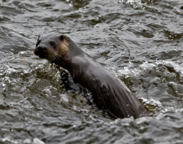 Otter in North Pennines