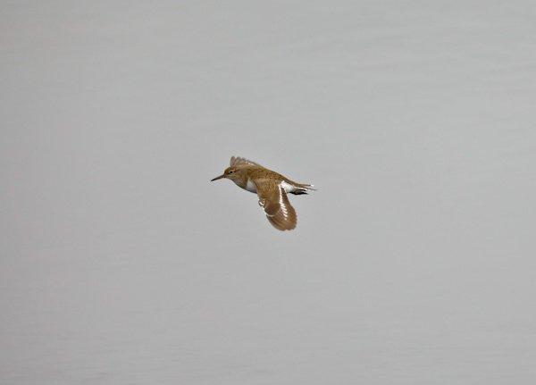 Sandpiper in the Lake District