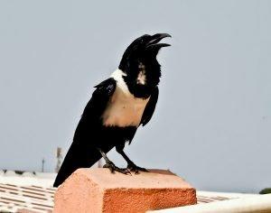 Pied Crow in Cape Coast Ghana