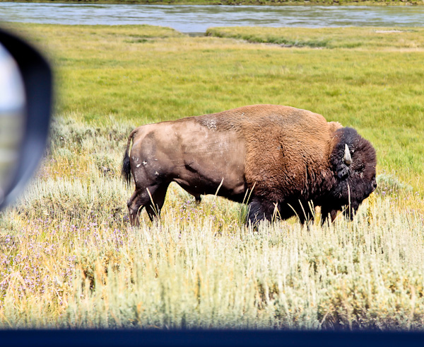Spot Bison from the Car Window
