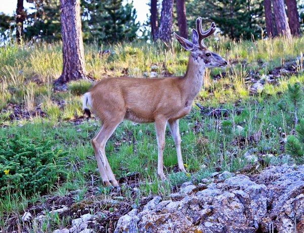 Wildlife around Mount Rushmore.