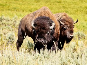Wildlife Spotting during a Yellowstone National Park Road Trip