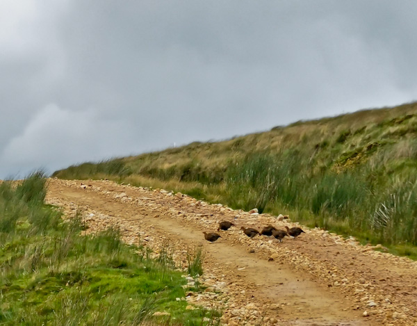 Wildlife on the Pennine Way - Red Grouse