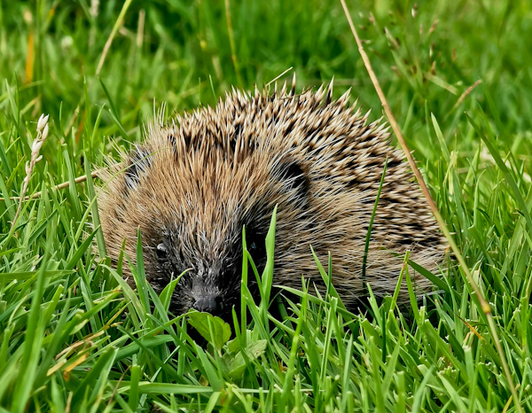 Hedgehog Crossing the Pennine Way