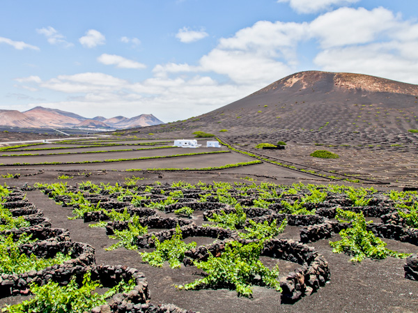 Vineyards in Lanzarote