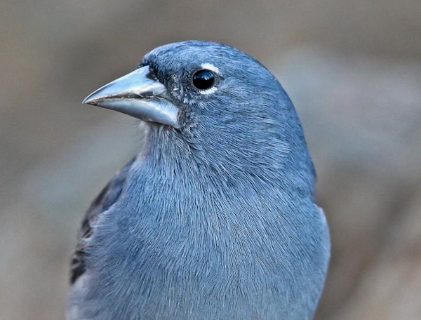Blue Chaffinch - Canary Islands