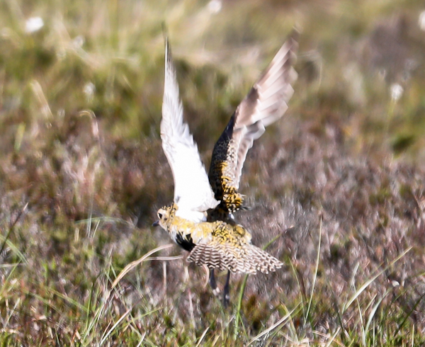 Golden Plover on the Pennine Way