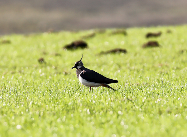 Lapwing on the Pennine Way