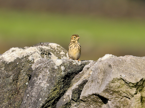 Meadow Pipit on the Pennine Way