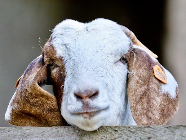 Boer Goat, Thornton in Craven