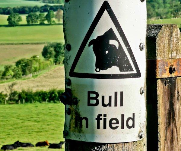 Bull in Field, Pennine Way