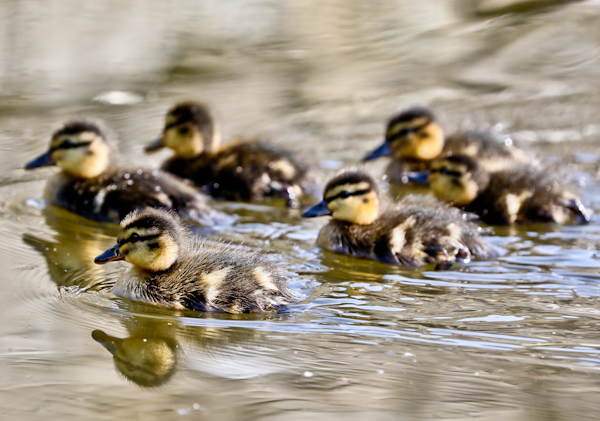 Ducklings on the Leeds Liverpool Canal