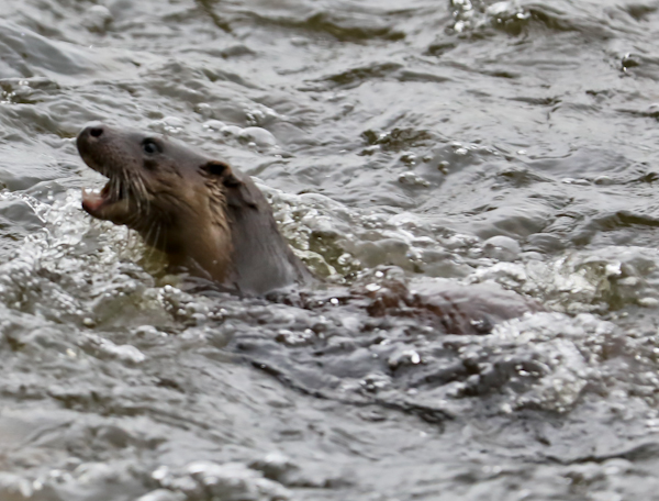 Otter in the River Aire