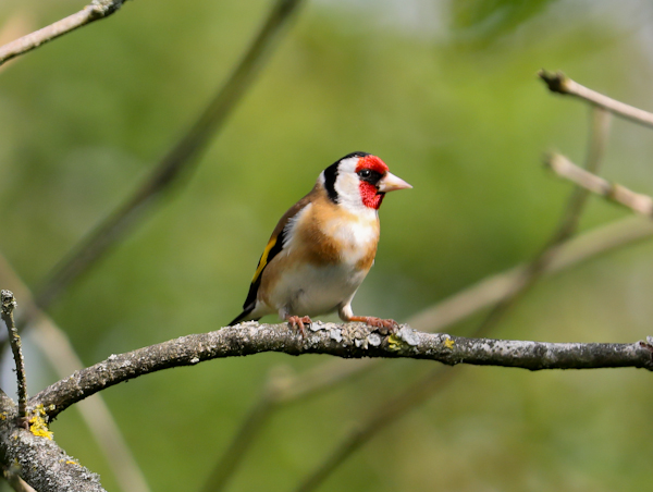 Goldfinch on the Pennine Way