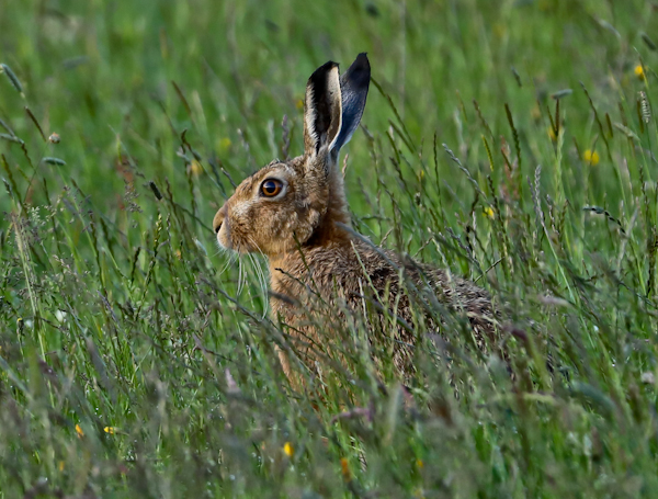 Hare in a Meadow - Pennine Way Stage 5