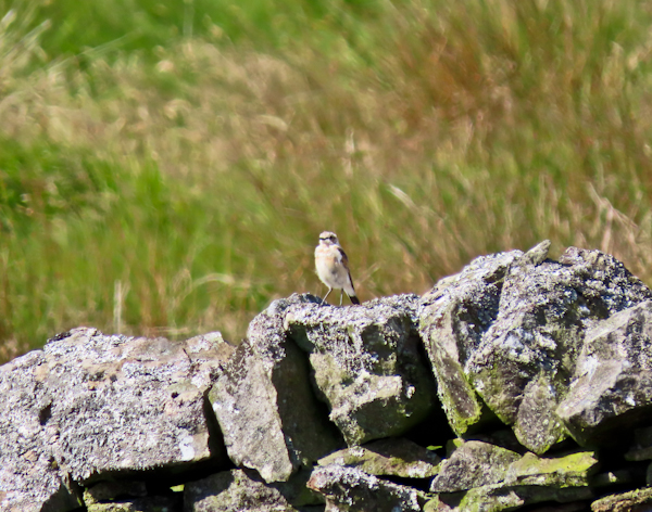 Northern Wheatear and Meadow Pipits on the Pennine Way