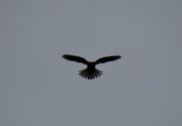 Kestrels and Barn Owls on the Pennine Way