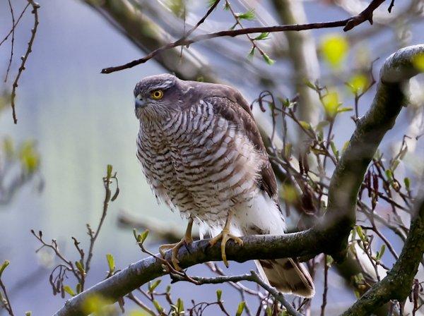 Sparrow Hawk on the Pennine Way
