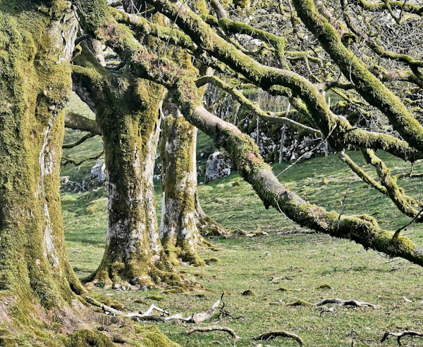 Row of Trees en Route to Fountains Fell