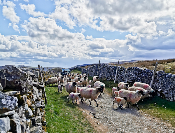 Sheep on the Pennine Way - Yorkshire Dales