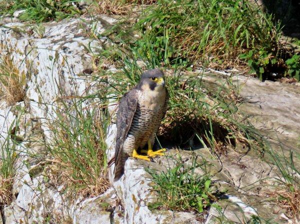 Peregrine Falcon at Malham Cove