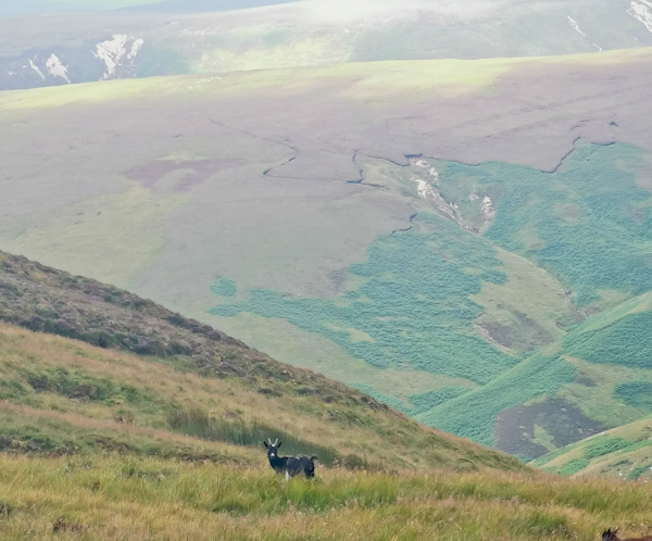 Wild Goats in the Cheviots - Pennine Way