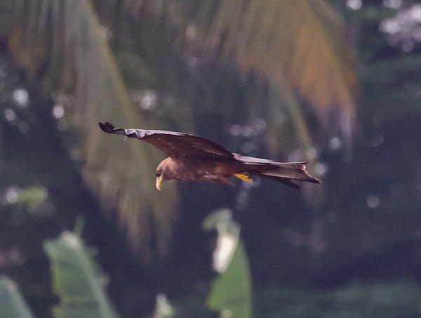 Yellow Billed Kite, Lekki Conservation Centre