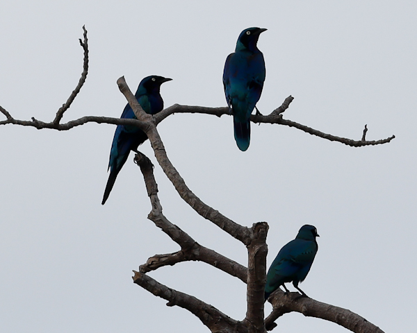 Greater Blue Eared Starlings, Lekki Conservation Centre