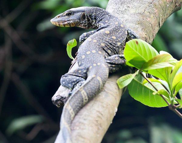 Monitor Lizard, Lekki Conservation Centre