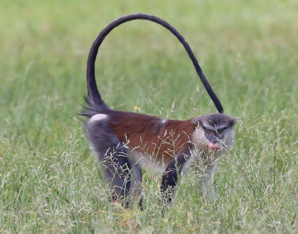 Mona Monkey, Lekki Conservation Centre
