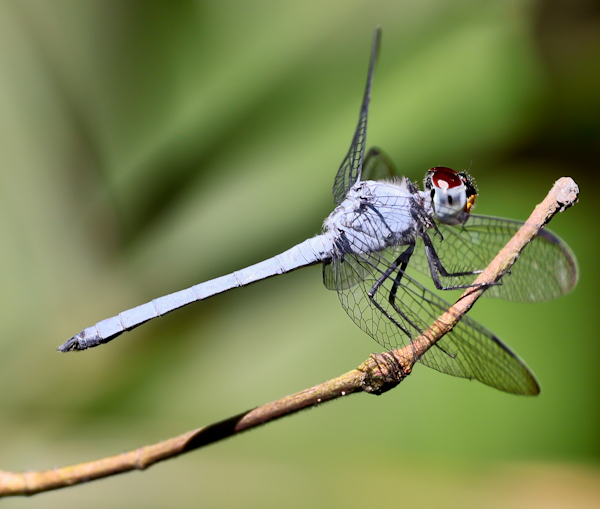 Dragonfly, Lekki Conservation Centre