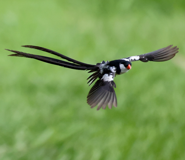Pin-tailed Whydah, Lekki Conservation Centre