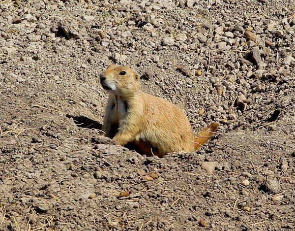 Prairie Dog, South Dakota